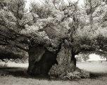 Beth Moon - Bowthorpe Oak, England