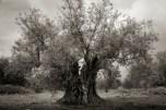 Beth Moon - Zalmon Olive Tree, Israel