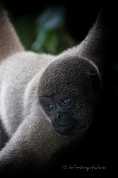 Brasile Amazzonia scimmia