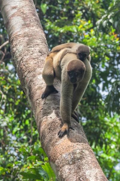 Brasile scimmie