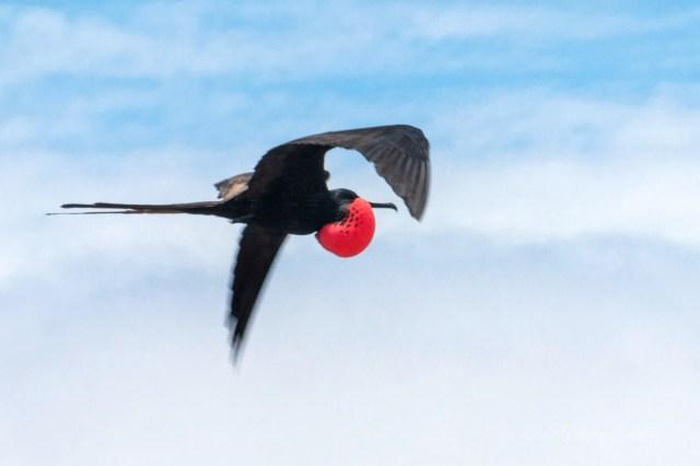 Galapagos fregata in volo