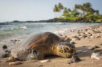 Hawaii la tartaruga