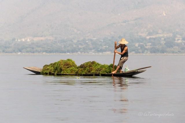 viaggio in Myanmar Lago Inle addetto alle alghe