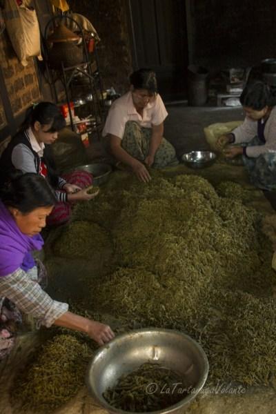 viaggio in Myanmar lavorazione del te