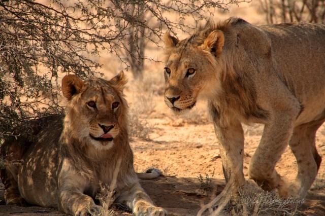 Namibia coppia di leoni al Etosha National Park