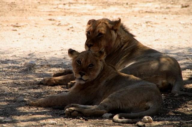Namibia coppia di leoni