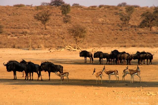 Namibia gnu e springbok Etosha National Park