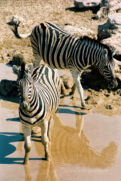 Namibia zebre all'Etosha national park
