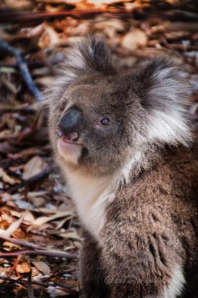 Western Australia Koala attivo