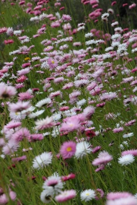 viaggio a nord del Western Australia, fiori