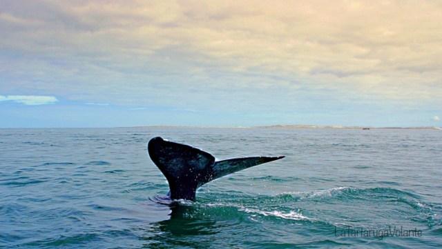 balene dela baja california pinna di balena