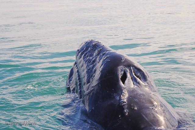 balene della baja california zoom di balena