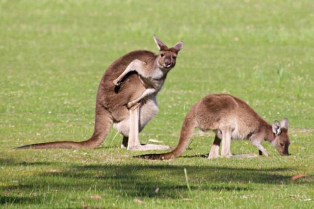 Western Australia canguro