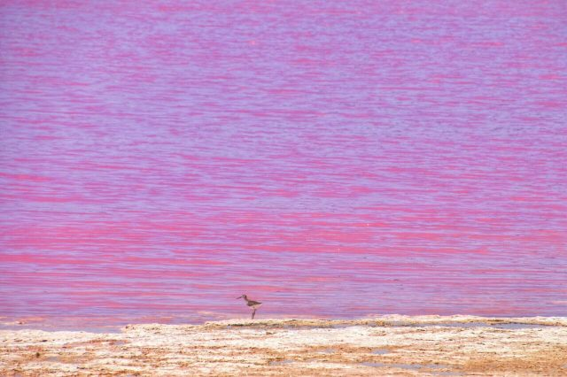 Australia Occidentale, pink lake