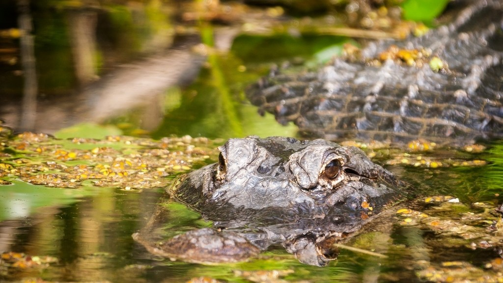 Florida, alligatore in primo piano alle Everglades
