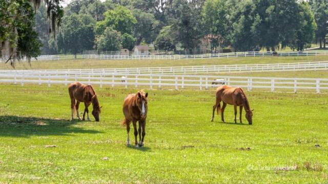 Florida cavalli ad Ocala
