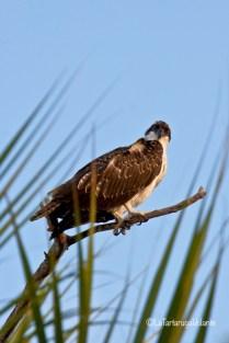 Florida falco pescatore
