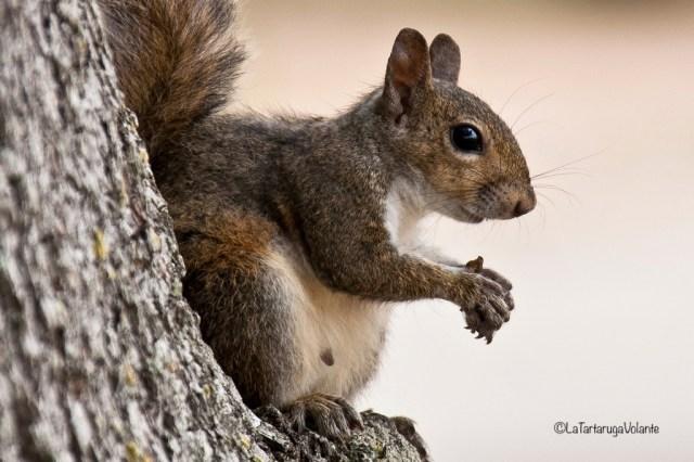 Florida, simpatico scoiattolo