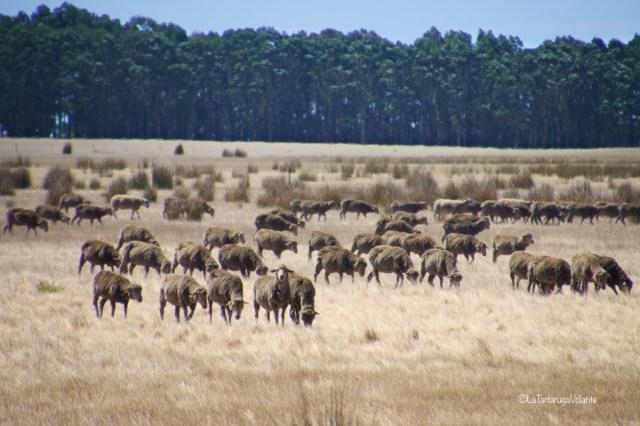 western australia sud, pecore al pascolo