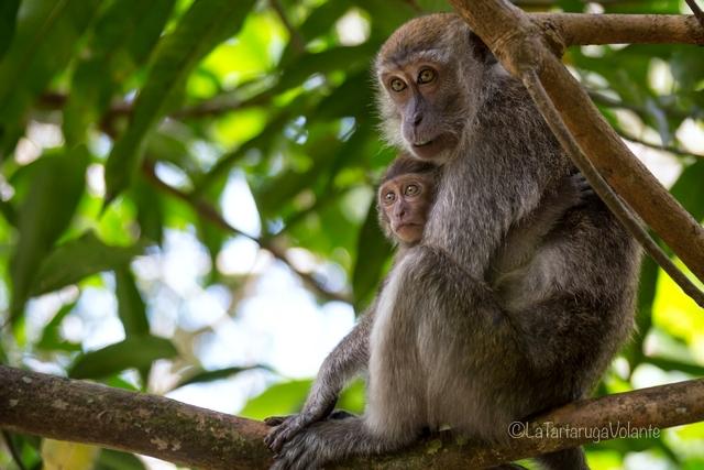 Borneo, Bako np scimmie curiose