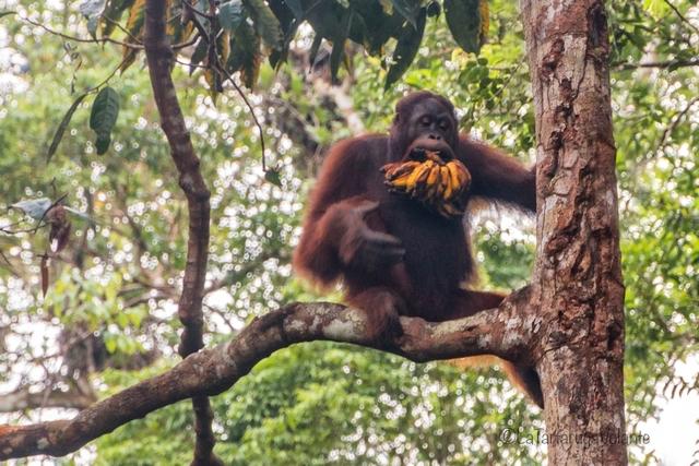 Borneo, Orango e casco di banane