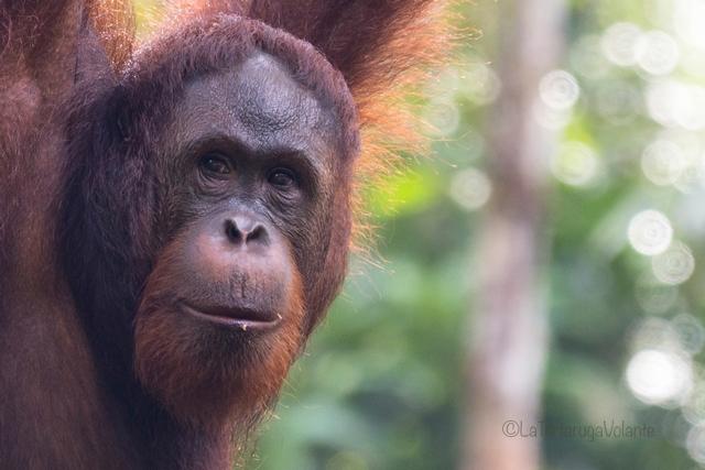 Borneo, Orango primo piano