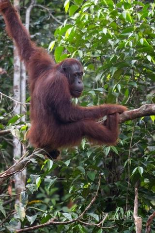 Borneo, Orangutan in posizione relax