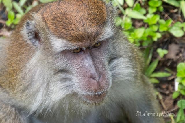 Borneo, macaco al Bako