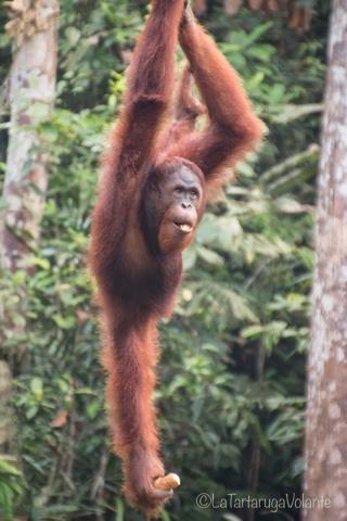 Borneo, orango relax