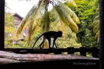 Borneo, scimmietta a Batang AI