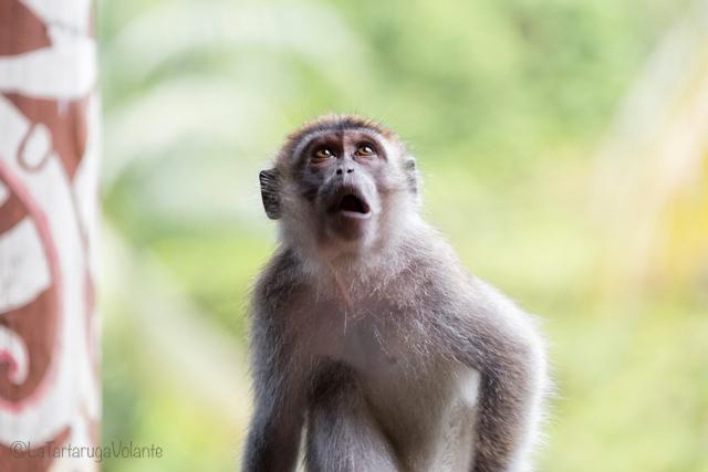 Borneo, scimmietta dispettosa