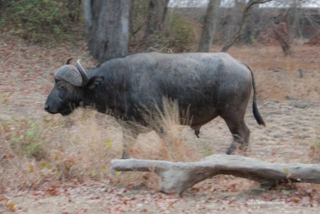 Malawi, bufalo