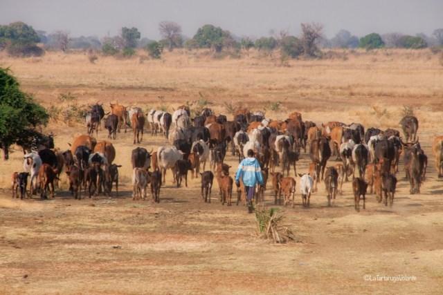 Malawi, gregge
