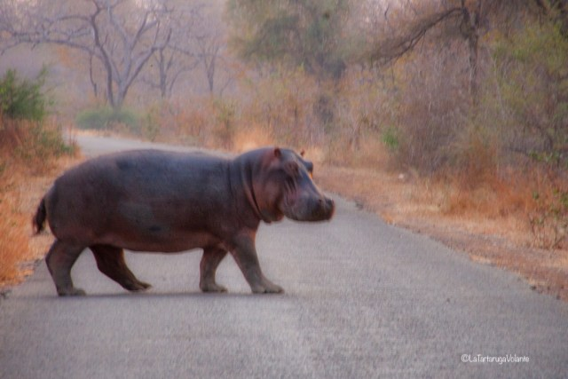 Malawi, ippopotamo lungo la strada