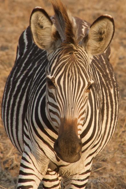 Malawi, primo piano di zebra