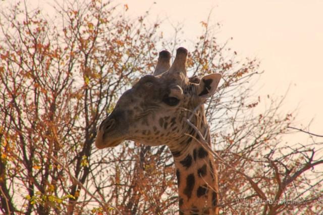 Zambia, giraffa al tramonto