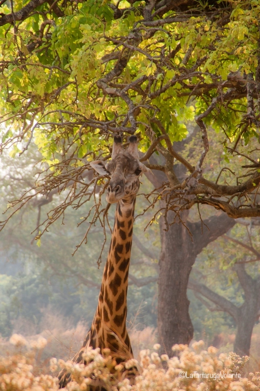 Zambia, giraffa romantica
