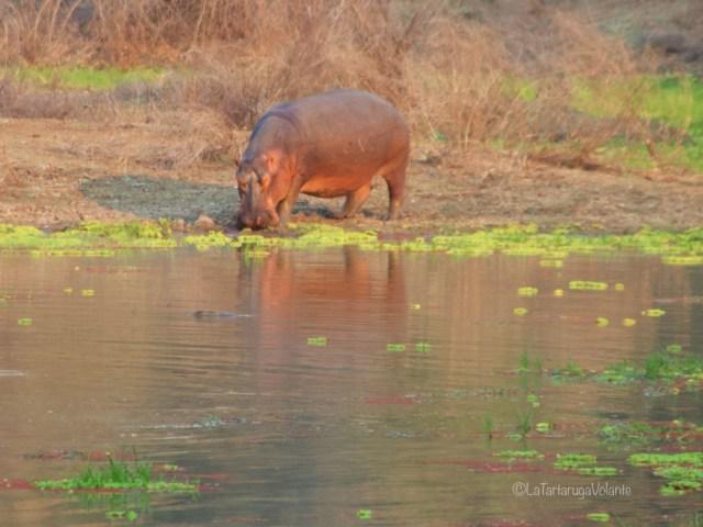 Zambia, ippopotamo intero