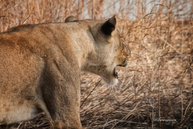Zambia, leone