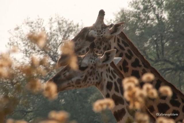 Zambia, primo piano di giraffe