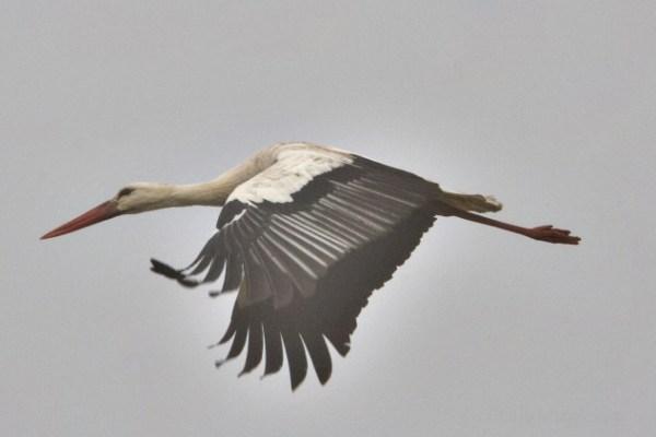 viaggio a Doñana, primo piano di cicogna