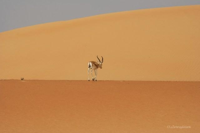Dubai, impala alone