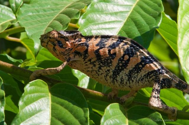 Viaggio in Madagascar, camaleonte rosso e nero