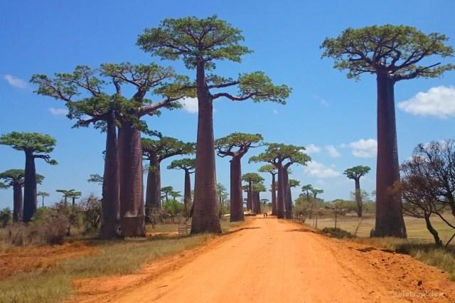 Viaggio in Madagascar, viale dei Baobab