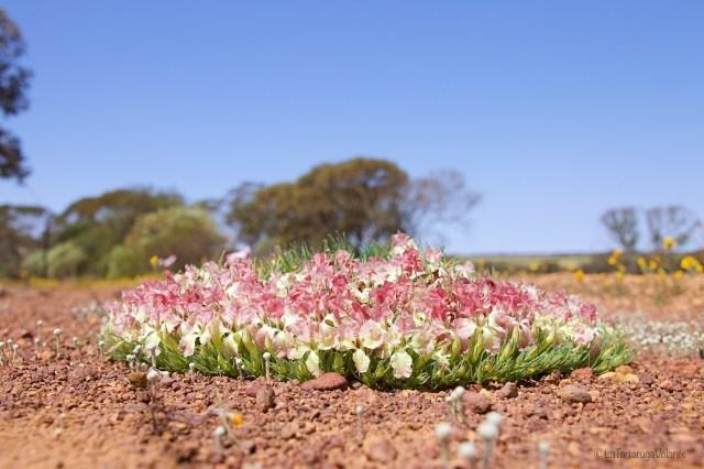 Outback australiano, Fiore a Corona primo piano Three Springs