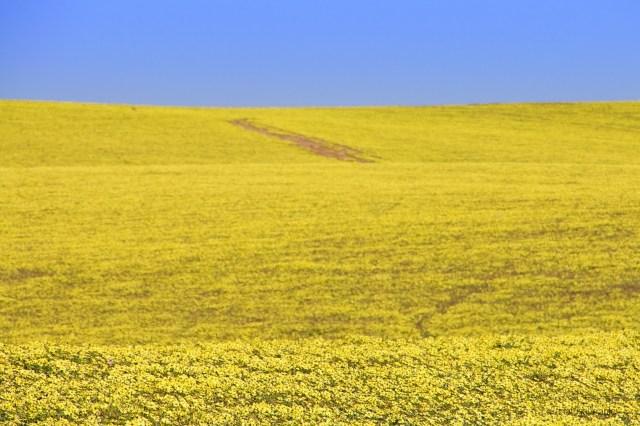 outabck australiano, campo di margherite giallo