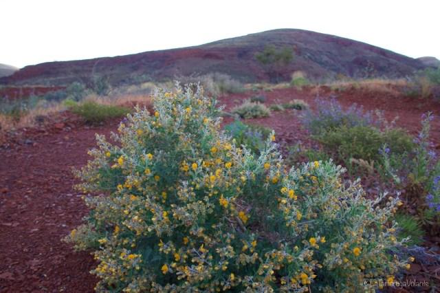 outback australiano, fiori gialli al campeggio tom price