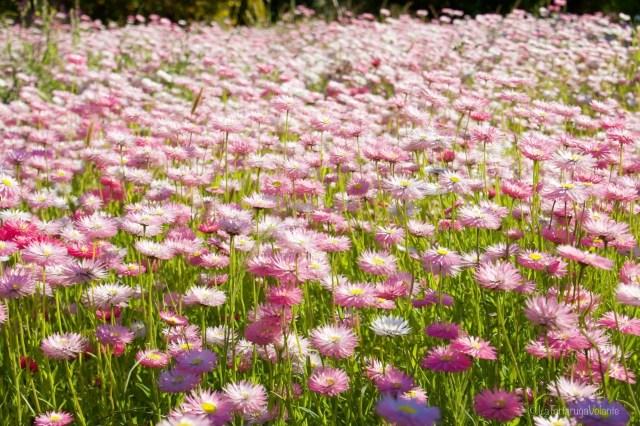 outback australiano fiori rosa a Moora 3