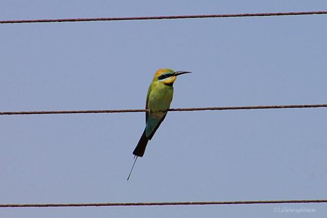 outback australiano, uccellino da solo