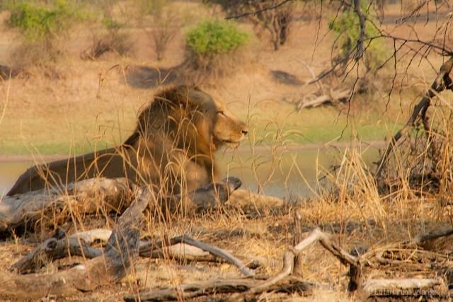 Volontariato, leone